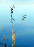 Zen nature. Autumn reeds beside lake Royalty Free Stock Photos