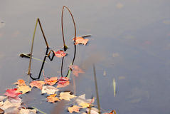Autumn Reeds and Leaves. Reeds and autumn leaves on a still pond Royalty Free Stock Photos