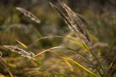 Autumn reeds Stock Photos