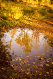 Bright Autumn Trees Reflected in Puddle Stock Photography