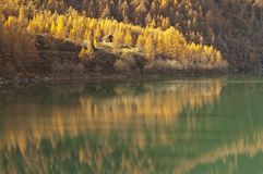 Autumn reflections on the lake. Yellow larch trees in autumn reflected in the green lake Royalty Free Stock Images