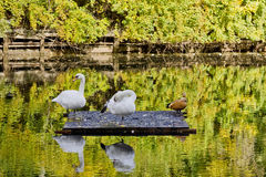 Autumn reflections of swans and ducks Stock Image