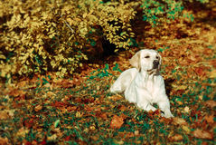 Autumn retriever. Golden retriever in autumn leaves Royalty Free Stock Image