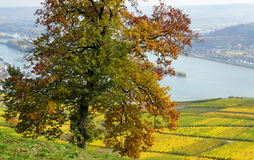 Autumn at the Rhine River  Stock Photos