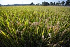 Autumn Rice stock afbeelding