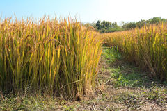 Autumn Rice Stock Photo