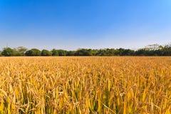 Autumn Rice Stock Photography