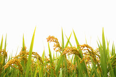 Autumn rice field Stock Photography