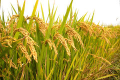 Autumn rice field Stock Photo