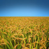 Autumn rice field Stock Photos