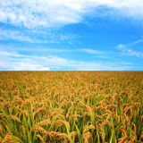 Autumn rice field Royalty Free Stock Photo