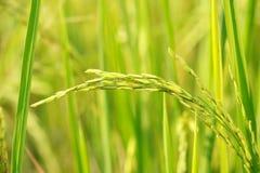 Autumn rice field Royalty Free Stock Image