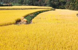 Autumn rice field ready for harvest. Field of golden rice crops in late autumn ready for harvesting Stock Photography