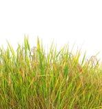 Autumn rice field Stock Photo