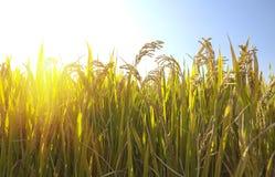 Autumn rice stock image