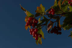 Autumn ripe red fruit of viburnum against the backgound of a blu sky Stock Images