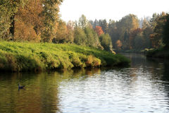 Autumn River. Duck swims by on a winding river in autumn Royalty Free Stock Photos