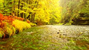 Autumn river bank with orange beech leaves. Fresh green leaves on branches above water make reflection. Rainy evening. At stream stock video footage