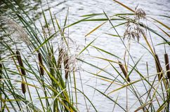 Autumn river reed Royalty Free Stock Photo
