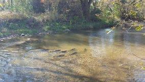 Autumn River Salmon Run en Norteamérica/Canadá imágenes de archivo libres de regalías