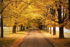 Autumn road. Road with yellow trees in autumn royalty free stock photography