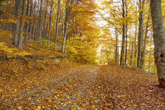 Autumn road in the beech forest,nature landscape Stock Photography