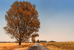 Autumn road. Big tree near autumn country road Royalty Free Stock Photography