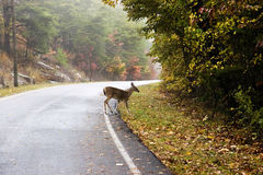 Autumn Road Deer crossing Royalty Free Stock Photo