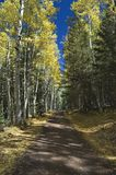 Autumn Road through Quaking Aspens. A mountain road journeys straight through a forest of quaking aspens Stock Images
