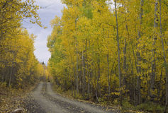 Autumn Road, Uinta Mountains 272-3-14. Dirt Road with Aspen trees changing colors Royalty Free Stock Images