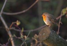 Autumn Robin fotografering för bildbyråer