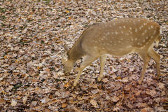 Autumn roe, eating. Leaves, fall time Royalty Free Stock Images