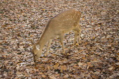 Autumn roe. Fall time, leaves Stock Images