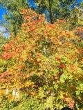 Autumn Roman-struik royalty-vrije stock afbeeldingen