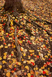 Autumn Roots. Colourful leaves scattered around some large roots Royalty Free Stock Photos