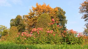 Autumn and rose garden. Rose garden and different color of autumn leaves . Germany Royalty Free Stock Photos
