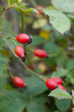 Autumn rose hips Stock Image