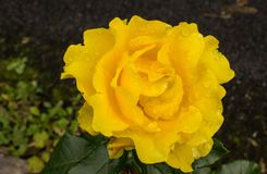 Autumn Rose, Ireland Royalty Free Stock Photo