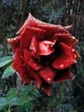 Autumn rose Stock Photos