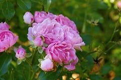 Autumn rose Royalty Free Stock Photos