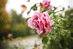 Autumn rose in a rain shower. Stock Photography