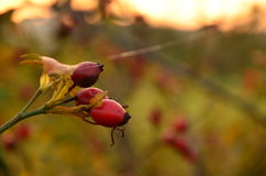 Autumn rosehip Royalty Free Stock Photos