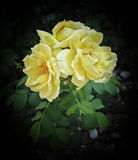 Autumn Roses. The final Fall bloom of a neglected yellow rosebush Stock Photos