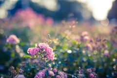 Autumn roses and soft background Royalty Free Stock Photo