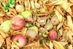 Autumn Rotten Fruits Stock Photography