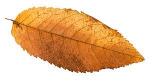Autumn rotten leaf of ash tree isolated. On white background royalty free stock image