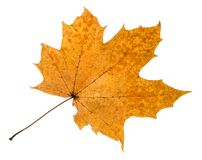 Autumn rotten leaf of maple tree isolated. On white background stock photos