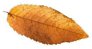Free Autumn Rotten Leaf Of Ash Tree Isolated Royalty Free Stock Image - 114390506