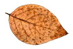 Autumn rotten leaf of poplar tree isolated. On white background Royalty Free Stock Photography