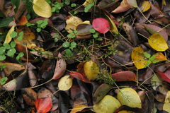 Autumn rotten leaves Royalty Free Stock Photo